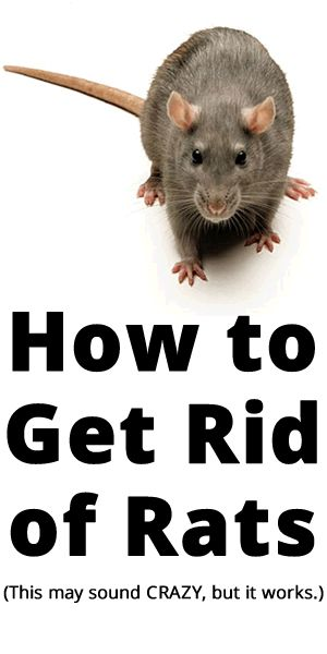 How to Get Rid of Rats - this maybe the craziest thing you read all day, but from someone who can't stand these little creatures and freak for mine and my kids sake - this crazy concoction worked.