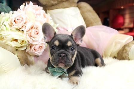 French bulldog puppies for sale!!! We finance 90% get approved! We ship, very safe. Visit our website teacuppuppiesstore.com or call 954-353-7864
