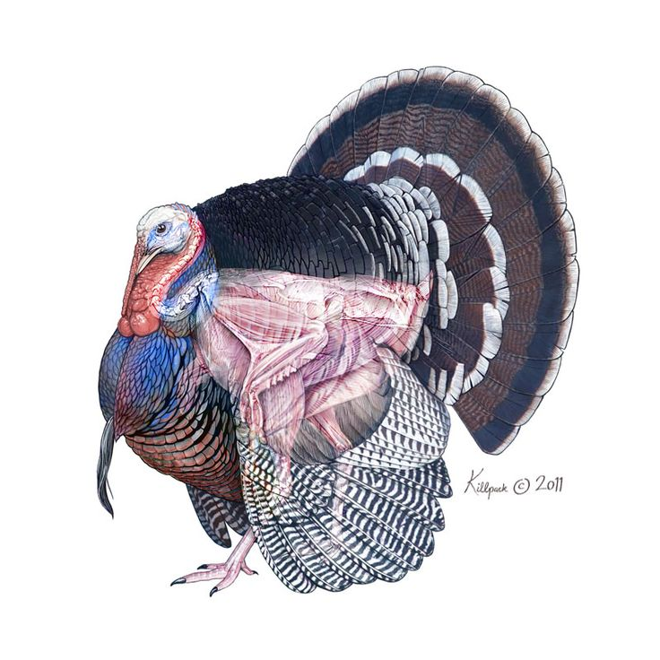 Turkey Surgery – Illumination Studios