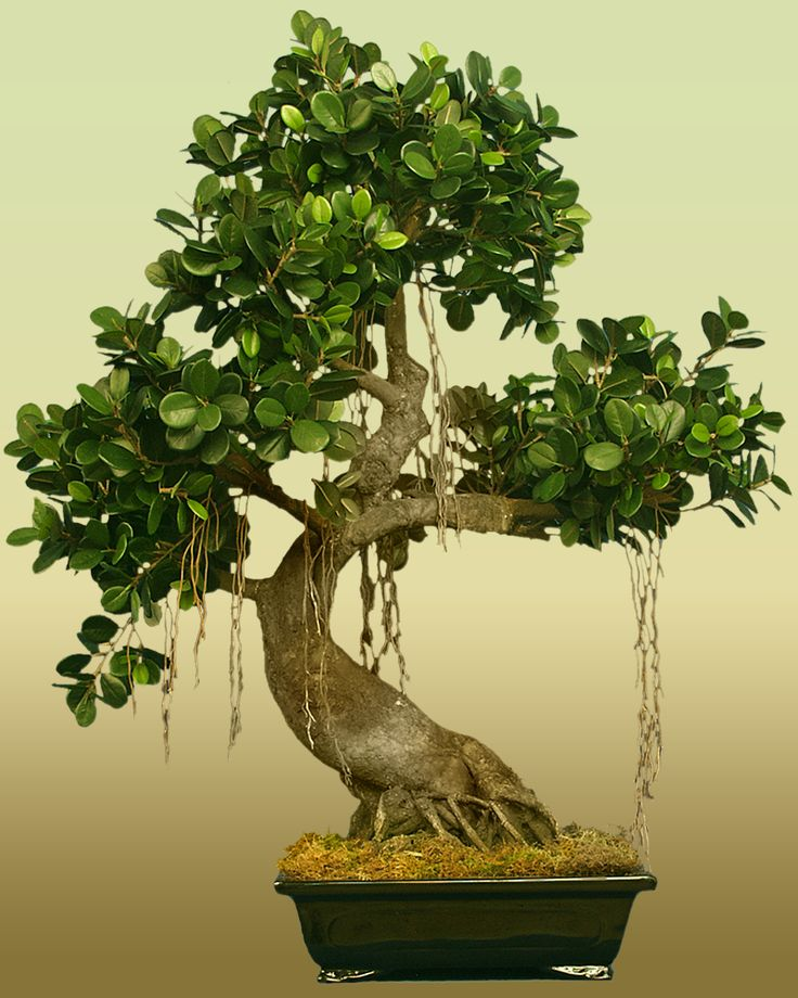 17 Best Ideas About Bonsai Ficus On Pinterest Bonsai
