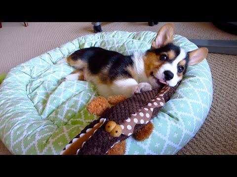 20 best dog grooming hacks that save time and money images on corgi puppies love to play with dog toys shaped like their body long and stubby gatsby is a pembroke welsh corgi tri colored puppy solutioingenieria Choice Image
