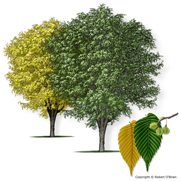 Ulmus americana: American Elm Tree Canopy: 60-120'