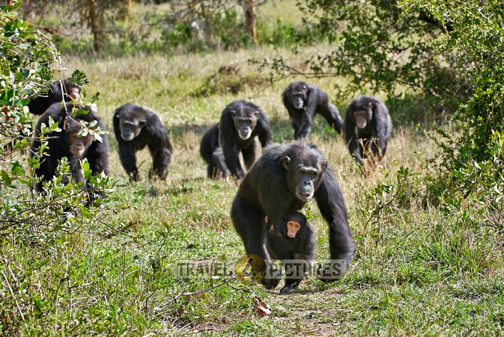 group of Common Chimpanzees, Pan troglodytes, Laikipia, Sweetwaters Privat RESERVE, KENYA, Africa  /   Gruppe Gemeiner Schimpanse, Pan troglodytes, LAIKIPIA, Sweetwaters Privat RESERVE, KENIA, Afrika  / copyright Juergen Ritterbach