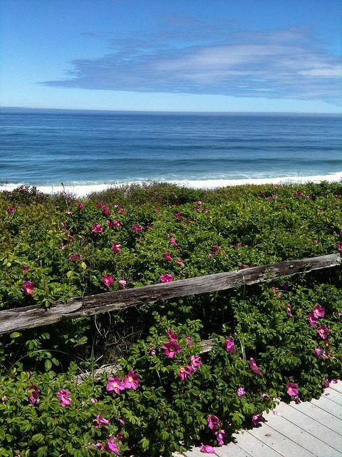 Cape Cod Rose Part - 19: Rosa Rugosa (beach Roses) Cape Cod, MA