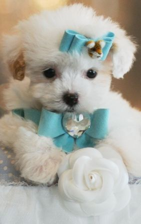 Porter the Poodle Puppy For Sale. Holy gracious. It's so cute and fluffy... I'm gonna die. My puffy needs a brother..or sister...a teacup!! Im very interested anyone have teacup  maltese feel free to msg me ZebraGirl