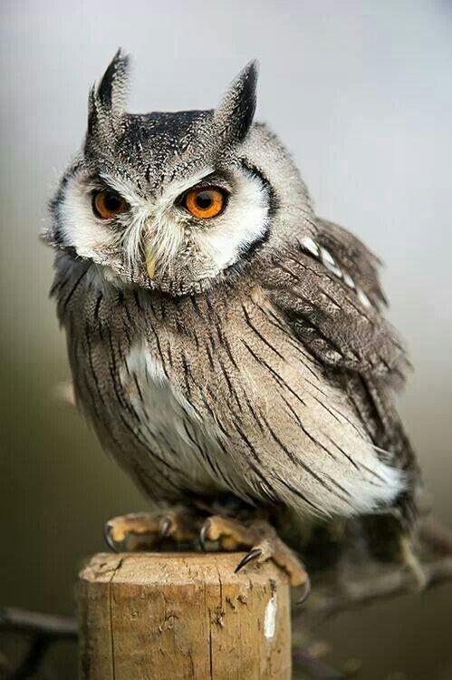 Gray striped owl with orange eyes