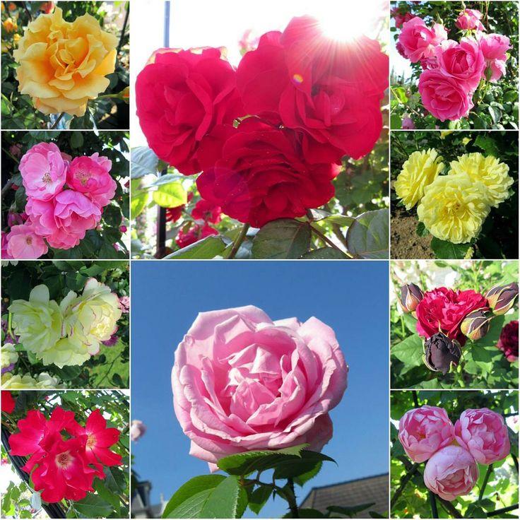 ❇168 おはようごさいまーす☀ 今週も月曜日の朝はハッピー気分で���� ハウステンボスの��バラを集めました��✨ 何とな~く��に見えますよねぇ��❔�� * #ハウステンボス #huistenbosch #バラ祭り #�� #バラ #薔薇 #rose #パワー #可愛い #花の王国 #�� #ハート #hart #�� #�� #�� #happy #花好き #カメラ上手くなりたい #花のある暮らし #花好きの人と繋がりたい #flower #flowerslovers #flowerphoto #ピンク #赤いバラ #黄色 #pink http://gelinshop.com/ipost/1524944059495222495/?code=BUpsIrojgzf