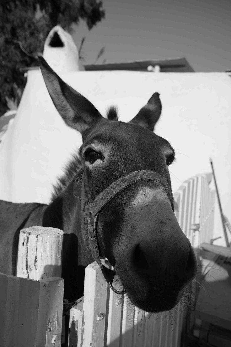 Marika, our celebrity donkey