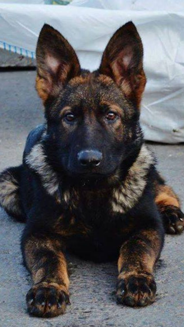 German Shepherd Puppy                                                                                                                                                                                 Más