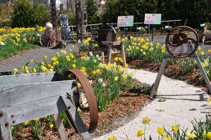 Jardin campagnard en mai, avec ses jonquilles