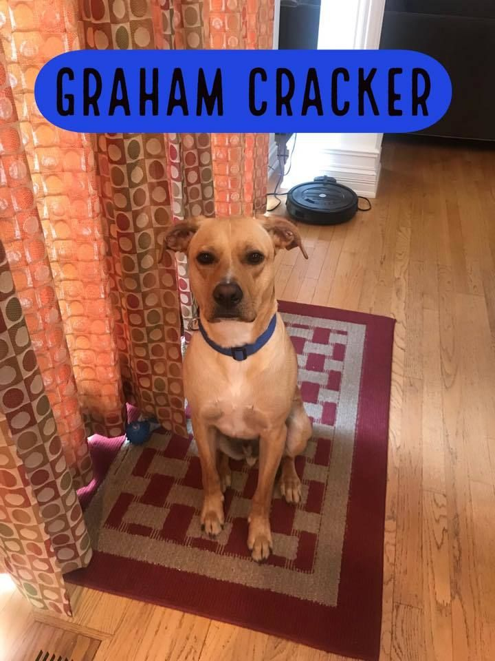 Adopt Graham Cracker On Adoption Rescue Dogs Labrador