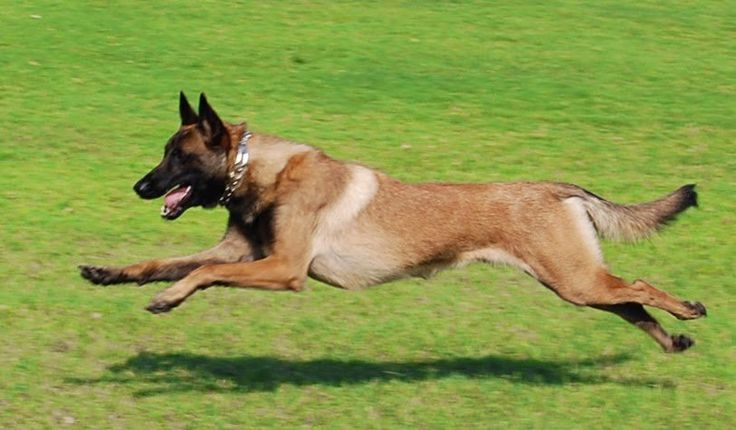 Belgian Malinois dog breed were originally bred to be herding dogs. Today, they also work as police dogs, protection dogs, and family companions. They are intense, intelligent and athletic companions. Read more at http://dogtime.com/dog-breeds/belgian-malinois#3fMvmfgPxjrbJdto.99