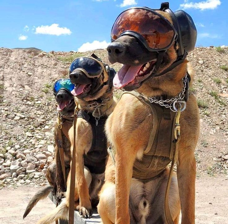 Pictures Of Dogs In The Millitary