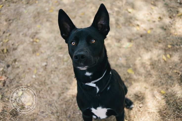 pitbull black lab german shepherd mix.. Finny with stiff ears! More