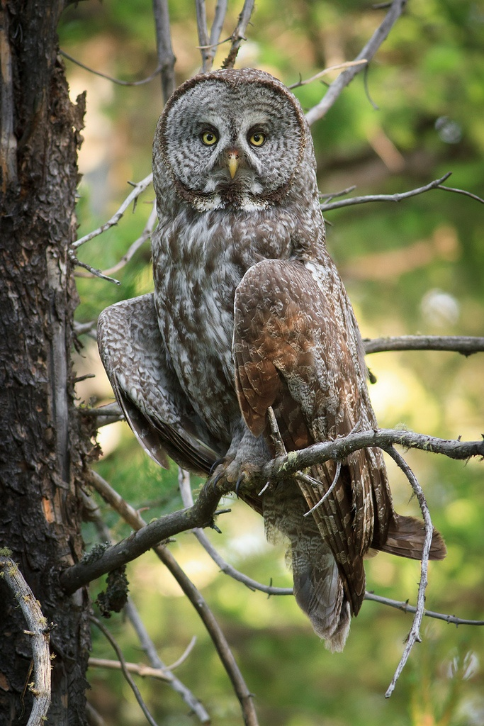 Great Gray Owl (light on wing), Harriman State Park, ID 2012 (by Darren P Clark)