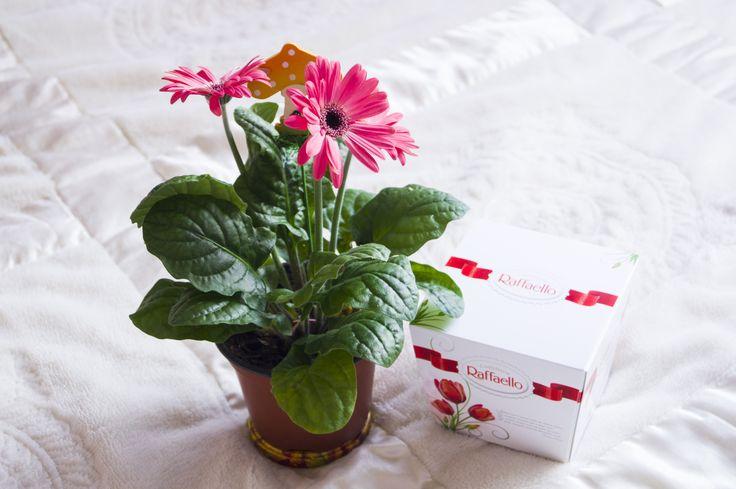 гербера, цветок в горшке, gerbera