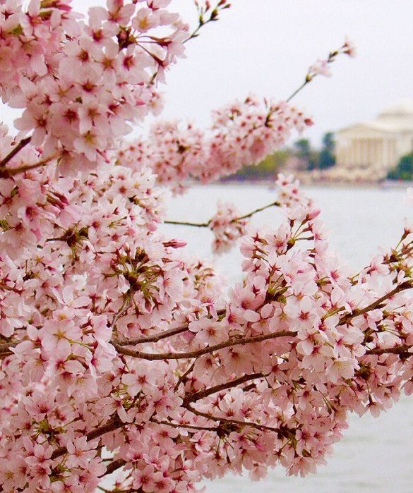 Cherry Blossoms In Japan And More Epic Blooms Around The World Cherry Blossom Japan Japanese Cherry Blossom Blossom