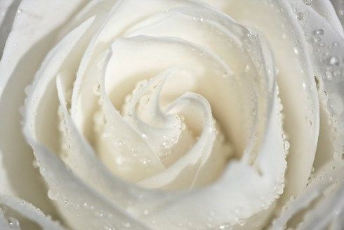Naturfotografie Makro romantische Kunst Frühling Weiß Hochzeitsdekor für ihre Frauen Creme Shabby Chic romantische Liebe Blume Rosenwasser Tropfen regen