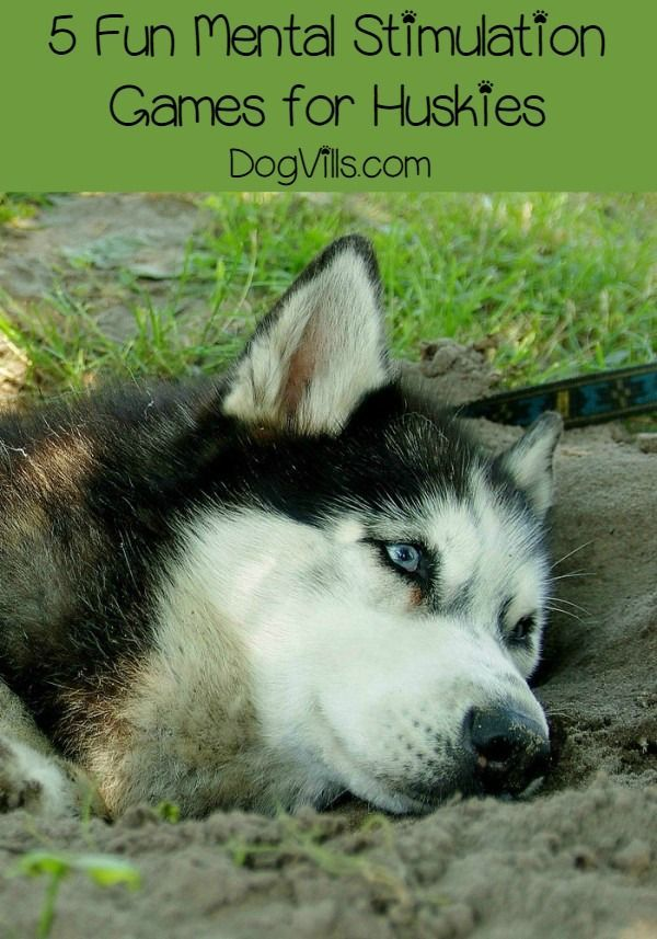 5 Fun Mental Stimulation Games for Your Husky