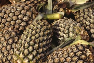 Throughout history, pineapple juice has been used as a yeast starter, a means to sweeten breast milk, an immuno-booster, an anti-inflammatory, a way to relieve congestion, a destroyer of parasites, a ...