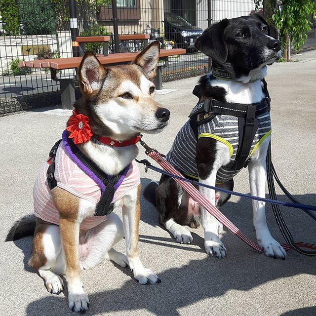 おはようございます❗今日はいいお天気です☀相変わらず撮影に非協力的なふたりです😅 ・ #保護犬 #ちばわん #mix犬 #雑種犬 #愛犬 #多頭飼い #里親になろう #end殺処分japan #ペットショップに行く前に #生体販売反対 #中型犬 #犬は家族 #犬のいる暮らし #dog #わんこ #わんこのいる暮らし #お散歩 #撮影