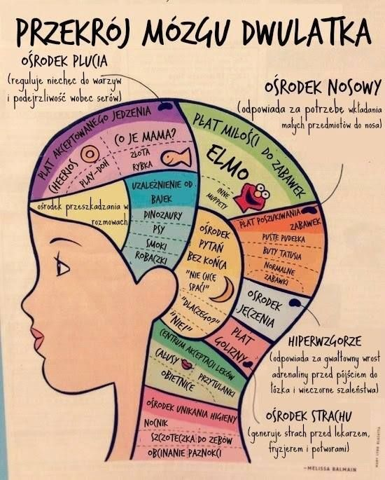Przekrój mózgu dwulatka