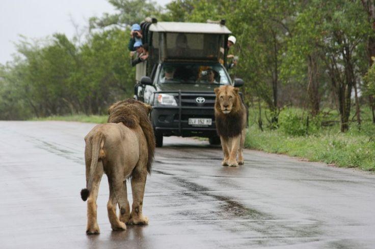 #lion #africawildlife