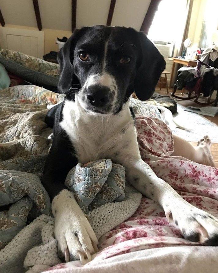 Cocker Spaniel X Beagle Bocker Dogs Mixed Breed Dogs Dog Breeds