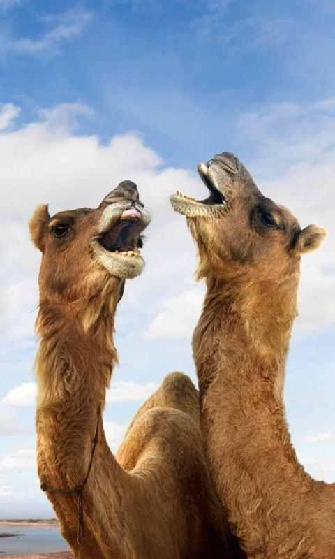 Silly Camels Wallpaper :-)