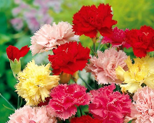 dianthus caryophyllus | Dianthus caryophyllus, Carnations come in so many colours - photo ...