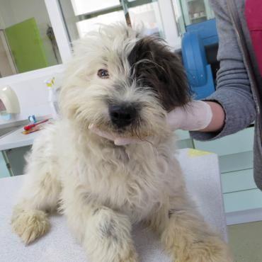 Hund, Tibet-Terrier (Mischling, Rüde, 2 Jahre) Kroatien - KIRBY - WUSCHELIGER PIRAT
