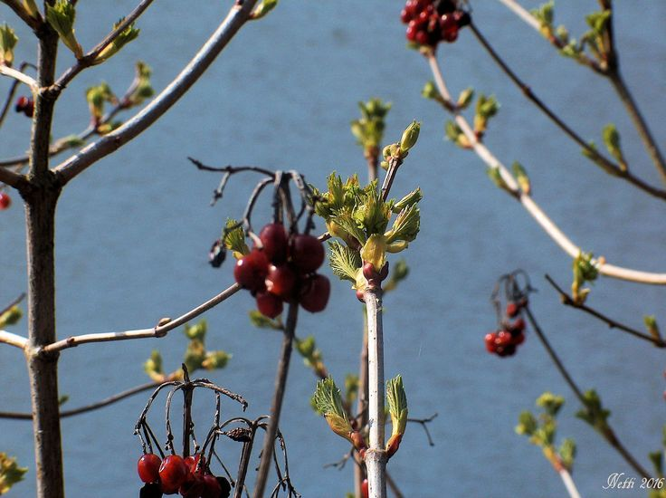 gewöhnlicher Schneeball (auch gemeiner Schneeball): Frühlingsgrün und Beeren vom letzten Herbst