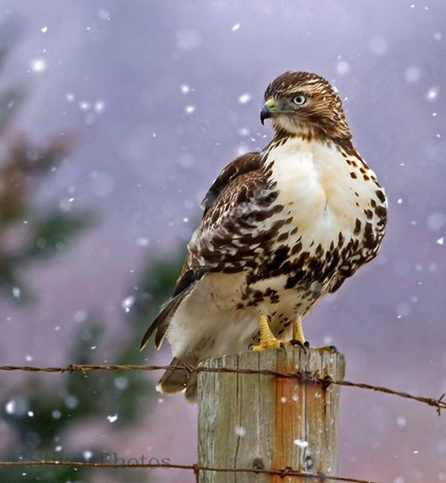 Red tailed Hawk Facts For Kids | Red tailed Hawk Diet & Habitat