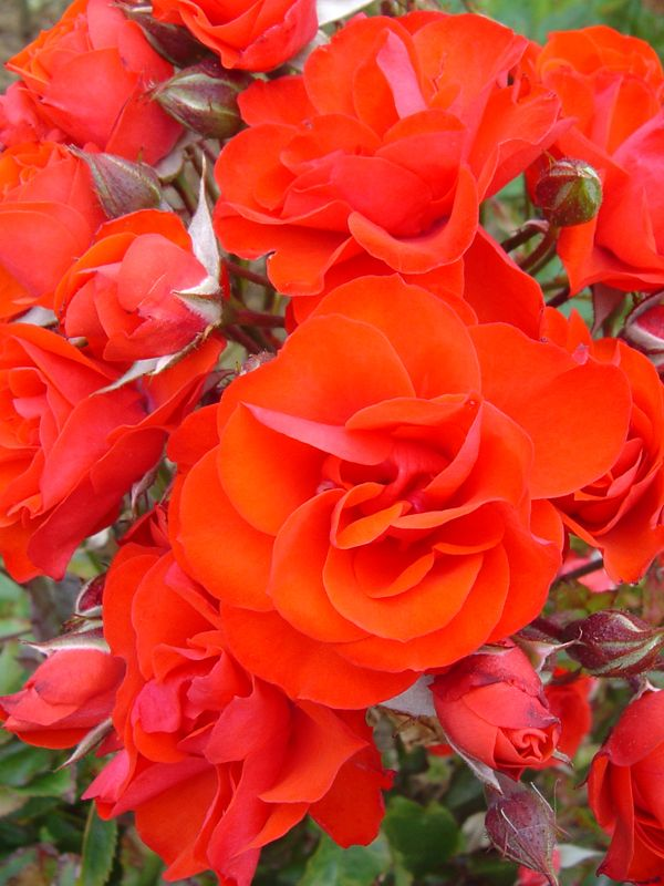 Orange Garden Rose 197 best roses images on pinterest | gardens, david austin roses