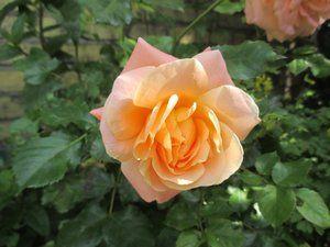 mandel rose træ