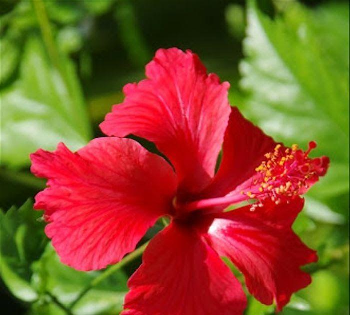 Paling Bagus 11 Gambar Mewarnai Bunga Kembang Sepatu Jual Tanaman