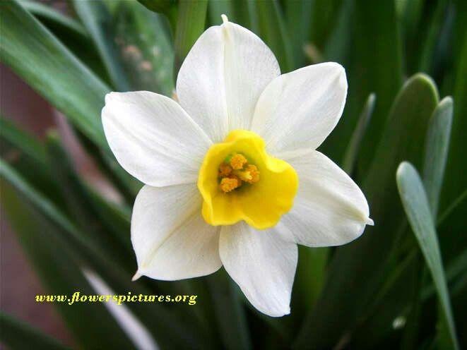 March birth flower: Tattoo Ideas Narcissus Flower Search Tattoos ...