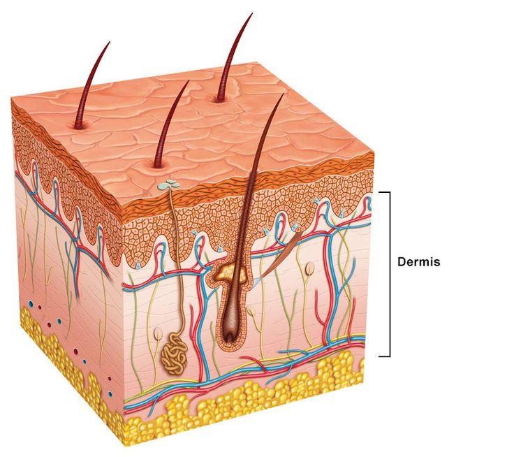 Skin anatomy diagram