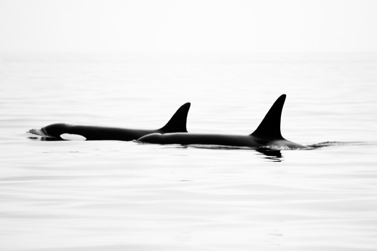 Orcas off Sooke, BC