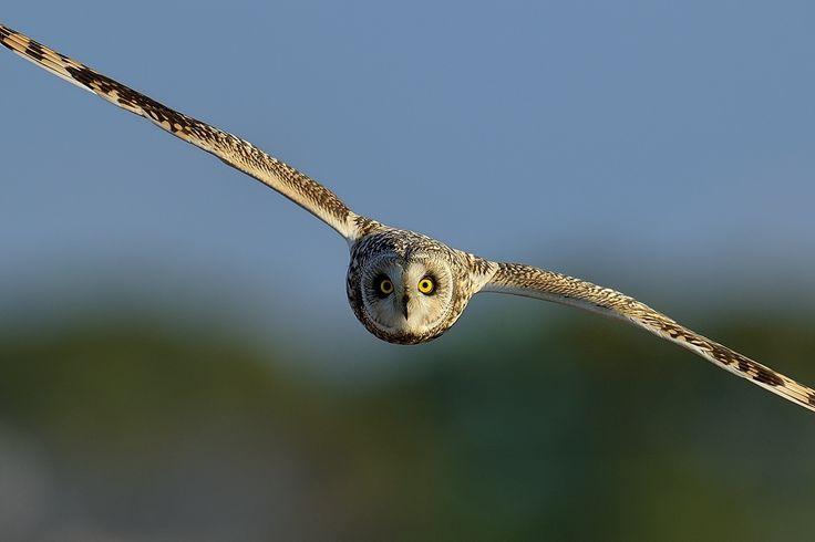 SHORT-EARED OWL! - コミミズク!