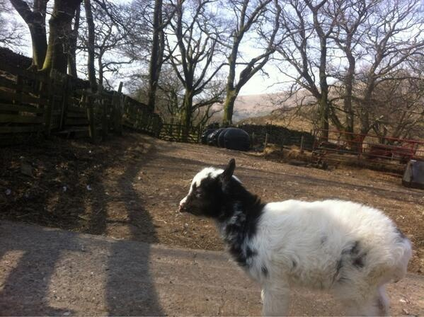 Super Stardom Beckons for Super Cute Goat | Cumbria Blog