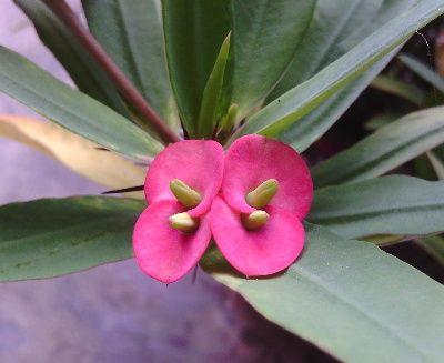 Bunga Euphorbia Merah Muda dengan Kelopak Kecil