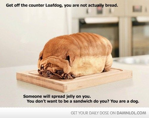 Someone is eating well!Puppies, Photos Manipulation, Loaf, Breads, Pugs, Funny Dogs Pictures, Funny Animal, So Funny, Animal Funny