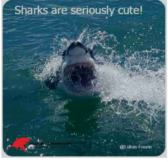 Cage diving with great white sharks is the No 1 bucket list adrenaline experience in the world- simply because people all over the world think that sharks are seriously cute!