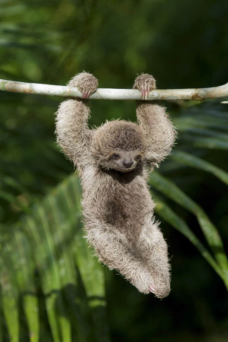 the sloth Sloths can sell for as much as $7,000 each authorities concerned group may have been breeding them.