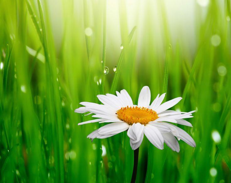 Скачать обои трава, капли, цветы, свежесть, роса, green, красота, весна, ромашка, белая, white, grass, water, flowers, зелёная, beauty, раздел цветы в разрешении 4916x3900
