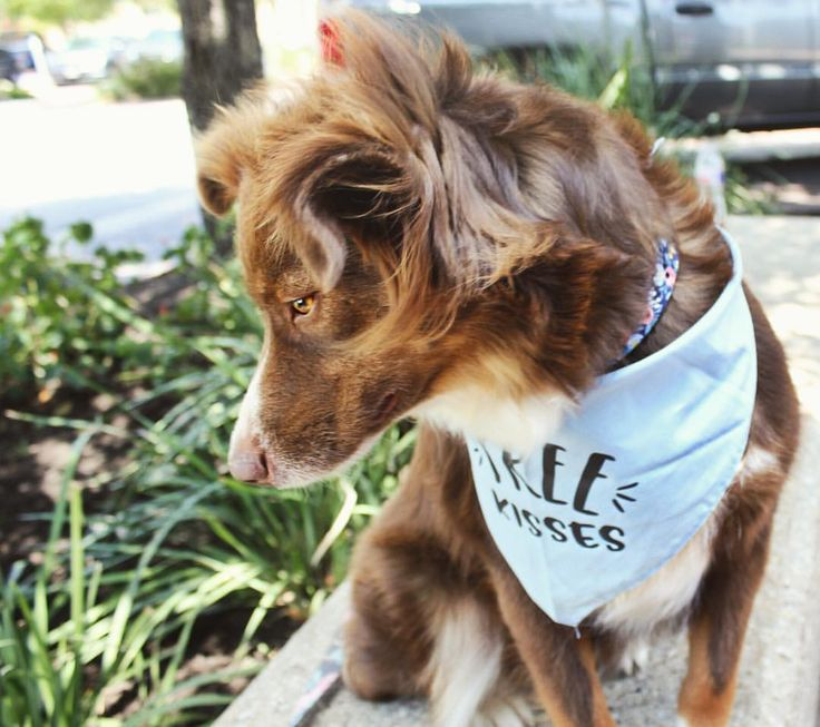 """52 Likes, 5 Comments - Faith & Titus the Mini Aussies (@faith_and_titus) on Instagram: """"Just pondering the meaning of life. Are treats all that we're here for? . . . My super cute bandana…"""""""