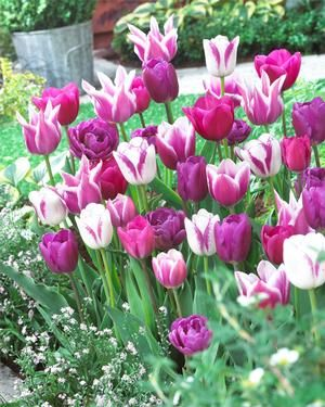 Tulipa value pack 'Blue Ribbon Mixture' unit111 Tulip from ADR Bulbs