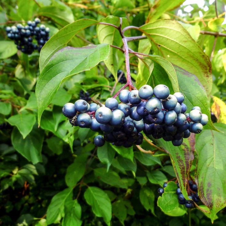 Silky Dogwood Berries | New Hampshire Garden Solutions
