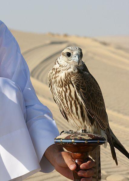 A Saker Falcon in Doha, Qatar